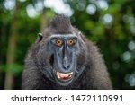 animals  apes  black  black ape ... | Shutterstock . vector #1472110991