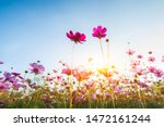 Cosmos Flower Blooming In The...