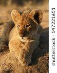 lion cub | Shutterstock . vector #147221651