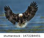 Bald Eagles Of North America