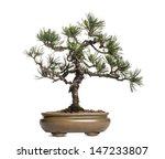 Scots Pine Bonsai Tree  Pinus...
