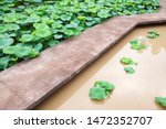 Newly Planted Lotus Plants In...
