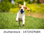 Beagle dog runs through green meadow with a ball. Copy space domestic dog concept. Dog fetching blue ball.
