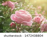 Rose Flower Blooming On Blurry...