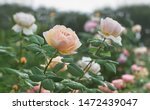Stock photo rose flower bloom in roses garden on blurry roses background 1472439047