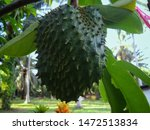 Teen Fruit Soursop. Fruit...