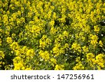 close up of rapeseed plants... | Shutterstock . vector #147256961