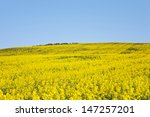 rapeseed fields along the... | Shutterstock . vector #147257201