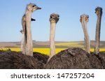 Close Up Of Ostriches Along Th...