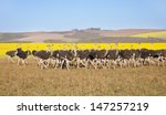 group of ostriches along the... | Shutterstock . vector #147257219