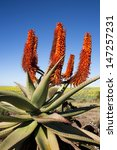Small photo of Aloe Ferox plant with background of rapeseed, Garden Route, South Africa. Aloe Ferox is used in many medicines and skin care products.