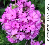 Small photo of Macro photo of a beautiful flower Phlox. Phlox flower with violet lilac petals. Blooming Phlox grows in the meadow against the background of plants and grass.