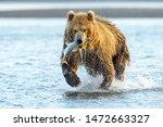 Grizzly Bear  Ursus Arctos...
