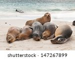 A Row Of Galapagos Sea Lions...