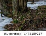 Snowflake  Leucojum Vernum  In...