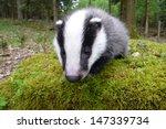 young female of european badger ... | Shutterstock . vector #147339734