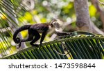 White Faced Capuchin On Branch...