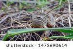 Portrait Of A Gray Brown Frog....