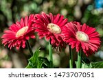 Red Gerbera Flower   Photo Wit...