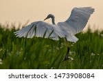 Great White Heron In Flight In...
