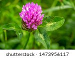 Clover Meadow  Or Red Clover ...