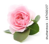 Stock photo one beautiful pink rose on a white background 147430157