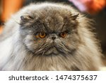 The Persian Cat Is A Long...
