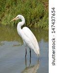 Great Egret Wading