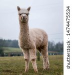 Cute Farm Alpacas In Field