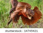 Frilled Lizard  Kakadu Nationa...