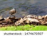 Green Heron   Photograph Of A...