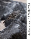 Floreana Mockingbird On A Rock  ...