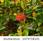 Small photo of Spike flowerThe original needle is a native of South America. Classified as a shrub With a height of 1-3 meters, fragrant needles or white needles are small Branching near the surface of the soil a