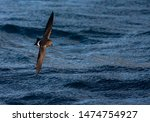 Small photo of White-bellied Storm Petrel (Fregetta grallaria) at sea in the southern Atlantic ocean.