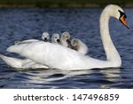 Mute Swan  Cygnus Olor  Female...