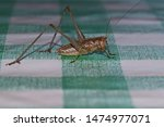 mediterranean wart-biter, wart bites or white faced cricket or katydid Latin decticus albifrons or verrucivorus on a check cloth in summer in Italy