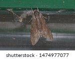 Southern Pine Hawk Moth At Res...