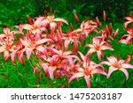 Lilys. Asian Hybrid Of Virinea  ...
