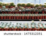 many mini cactus pot on the... | Shutterstock . vector #1475312351