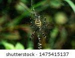 Spider Argiope Bruennichi...