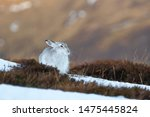 Stock photo mountain hare lepus timidus sitting on snow covered hillside scottish highlands 1475445824