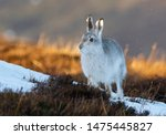 Stock photo mountain hare lepus timidus scottish highlands 1475445827