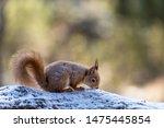 Red Squirrel  Sciurus Vulgaris...