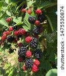 A Bunch Of Blackberries...