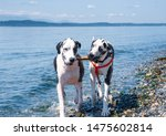 Adult And Puppy Harlequin Great ...
