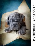 Stock photo cane corso puppy 147577757