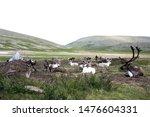 reindeers in mongolia   siberia   Shutterstock . vector #1476604331