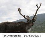 reindeers in mongolia   siberia   Shutterstock . vector #1476604337