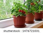 Small Bush Of Balcony Cherry...