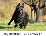 Stock photo young big black dog german shepherd gallop outside across garden park meadow maybe behind the 1476742157